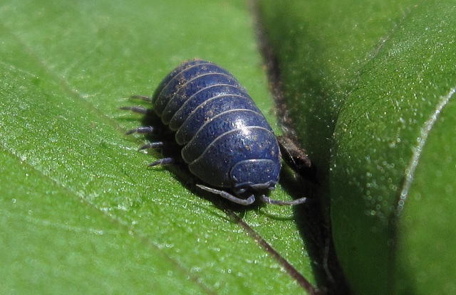 Macro photo of a blue sow bug on a green leaf.