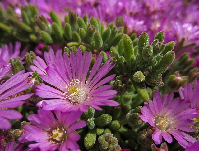 Macro photos of perennial ground cover with bright pink flowers.